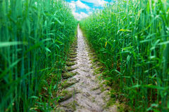 Tire track in wheat field Royalty Free Stock Images