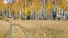 Tire Tracks Going Into A Forest Of Aspens In Autum Royalty Free Stock Photos