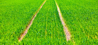 Tire tracks in a green field Royalty Free Stock Images