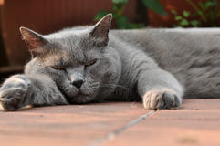Tired. Chartreuse cat lying on a hot day Stock Image