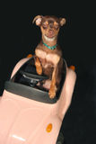 So tired. He is so tired this miniature pincher is driving with his eyes shutting stock photos