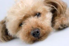 So tired. Dog falling to sleep stock image