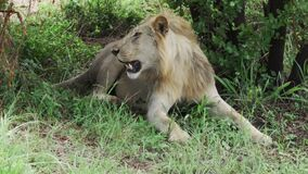 African lion resting in the shade of a tree then stands up and walks away. Tired African lion resting on a grass in the shade of a trees and then stands up and stock video footage
