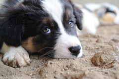 Tired Australian Shepherd aussie puppy Royalty Free Stock Image
