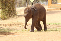 Tired baby elephant Stock Photography
