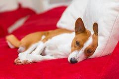 Tired basenji dog having rest Stock Photography
