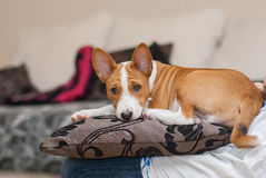 Tired Basenji puppy having rest on a pillow Royalty Free Stock Photos