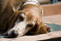 Tired basset hound Stock Photo