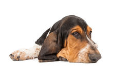 Tired Basset Hound Puppy. A cute little Basset Hound breed puppy dog laying with head down royalty free stock photography