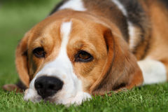 Tired beagle dog laying on grass. Tired Beagle Dog laying down on grass lawn Royalty Free Stock Images