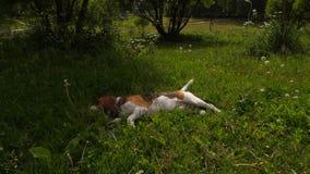 Tired Beagle dog put head in grass in shade, hot day