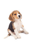 Tired beagle puppy Royalty Free Stock Photos