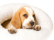 Tired Beagle puppy in white fur bed Stock Images