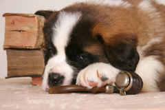 Tired Bernard dog relaxing after smoke. Young Saint Bernard dog relaxing after smoking old pipe in library with aged books Stock Photo