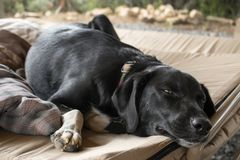 Tired Black Lab Dog Laying On A Bed royalty free stock photography