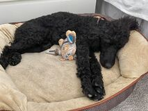 A black purebred standard poodle laying on a dog bed