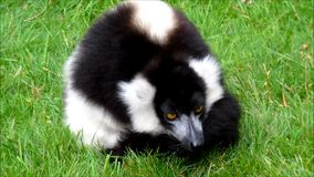 Tired black and white ruffed lemur laying in grass. Video of tired black and white ruffed lemur laying in grass stock video