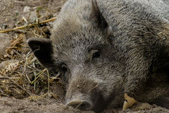 Tired boar Stock Photography