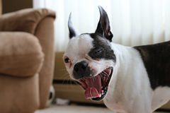 Tired Boston Terrier Stock Photo