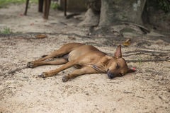 Tired brown dog lying on the ground stock photo
