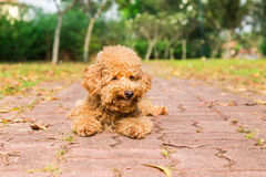 Tired brown poodle dog resting after exercise at park royalty free stock photo
