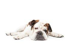 Tired Bulldog Laying Flat Stock Photos