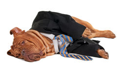 Tired businessman dog. Tired dog businessman is having a rest  on the floor Stock Image