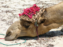 Tired Camel with Hat Stock Photography