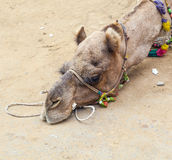 Tired camel lying on the earth Stock Images