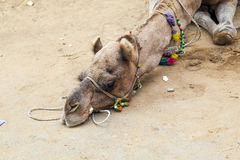 Tired camel lying on the earth Royalty Free Stock Photography