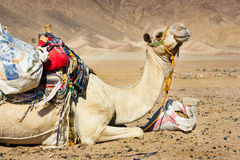 Tired camel Royalty Free Stock Image