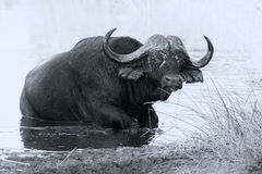 Tired Cape buffalo bull rolling in water pond to cool down artis Royalty Free Stock Photo