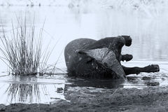 Tired Cape buffalo bull rolling in water pond to cool down artis Stock Photography