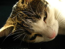 Tired cat. Bedtime. Relaxing cat Stock Photo