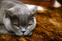 Tired cat - british blue Stock Photos