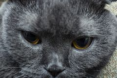 Tired cat close-up muzzle, British breed. Selective focus, blur. Tired cat close-up muzzle, British breed stock images