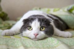 A tired funny cat lies on the belly on the bed Stock Photos