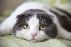 A tired funny cat lies on the belly on the bed Stock Image