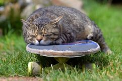 Tired cat on a skateboard Stock Photo