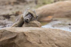 Tired Chacma baboon sit on rocks to rest after hard day stock photography