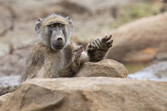 Tired Chacma baboon sit on rocks to rest after hard day royalty free stock image