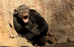 Tired  Chimpanzee Royalty Free Stock Photography