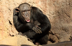 Tired  Chimpanzee Royalty Free Stock Images