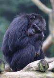 Tired chimpanzees Stock Photos