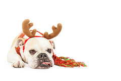 Tired Christmas Reindeer Dog With Copy Space royalty free stock photography