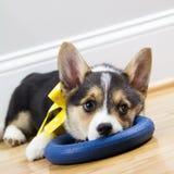 Tired corgi puppy resting Stock Photos