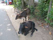 Tired cows resting at the street  in Sri Lanka. Cow lying on the ground Stock Images