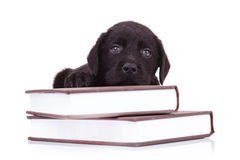 Labrador retriever lying down on some books. Tired and cute black labrador retriever puppy dog lying down on some books Royalty Free Stock Images