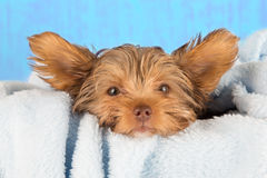 Tired cute little Yorkshire terrier resting on soft blue bed Stock Image