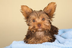 Tired cute little Yorkshire terrier resting on soft blue bed Royalty Free Stock Images
